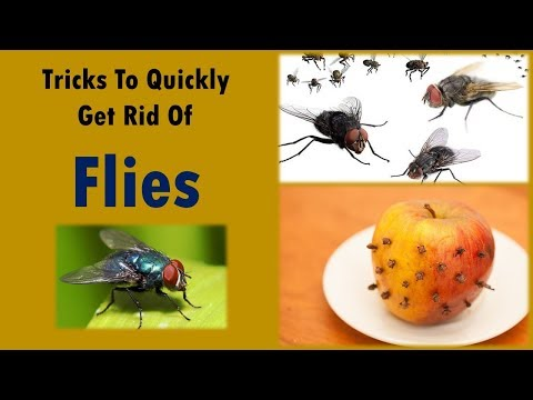 Tricks To Quickly Get Rid Of Flies - How to Kill Flies in the House - 5 tips to remove flies