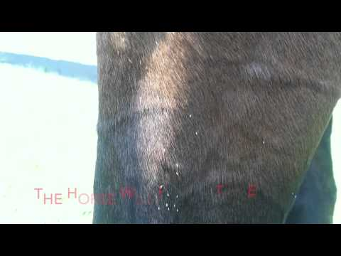 Horse covered with bot fly eggs before removal