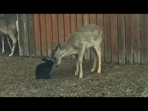 Wild deer cleans a black bunny in the middle of a neighbourhood