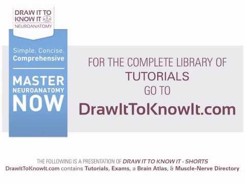 Thigh - Draw it to Know it, Neuroanatomy