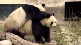 Animal Planet | Discovery Channel | Panda Documentary 2015 Full HD