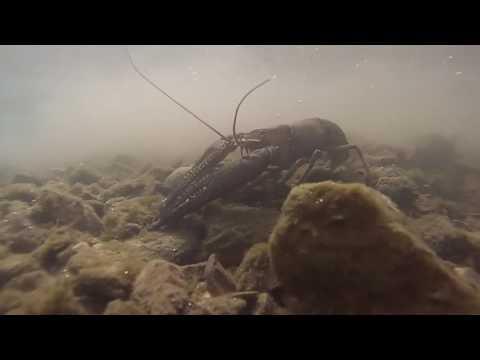 Giant James River Crayfish