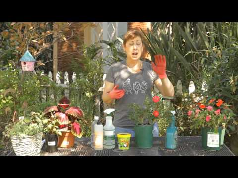 How to Get Rid of Greenfly on Roses : Garden Space