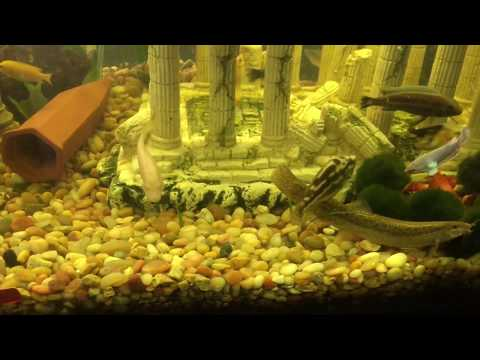 African Cichlid Shows of Display/ Community Tank
