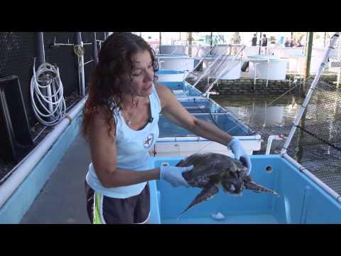 Saving Endangered Sea Turtles