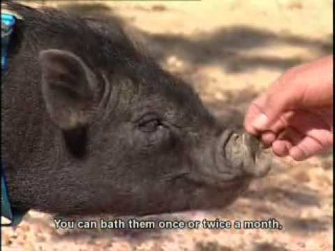 Pasella | Pets | Miniature pigs/teacup pigs (Eng subtitles)