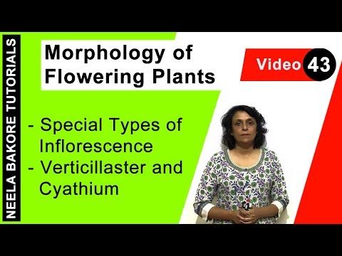 Morphology of Flowering Plants - Special Types of Inflorescence - Verticillaster and Cyathium