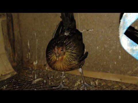 Wow....ធ្នាក់ល្អ មាន់ព្រៃ 1 វូងទាំងញីទាំងឆ្មូល How to trap bird in cambodia របៀប ទាក់មាន់ព្រៃ