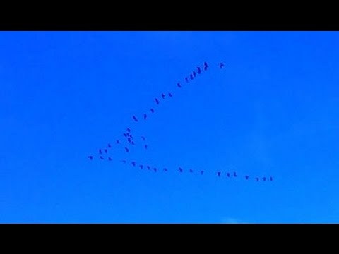 Canadian Geese Migration Call