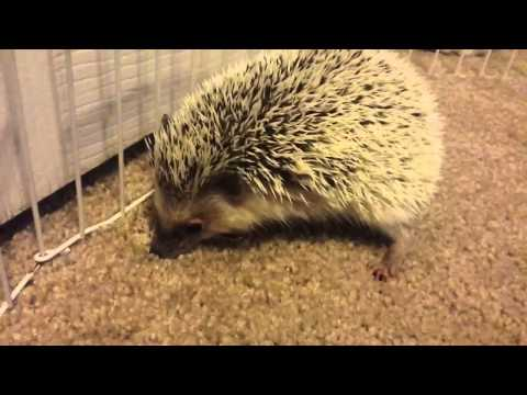 Keeping Pet Hedgehogs - Do Your Research