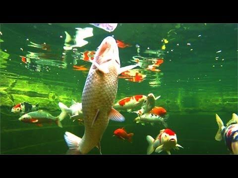 Koi carp feeding - underwater