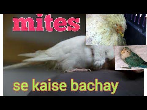 Mites se parrots ko kaise bachay