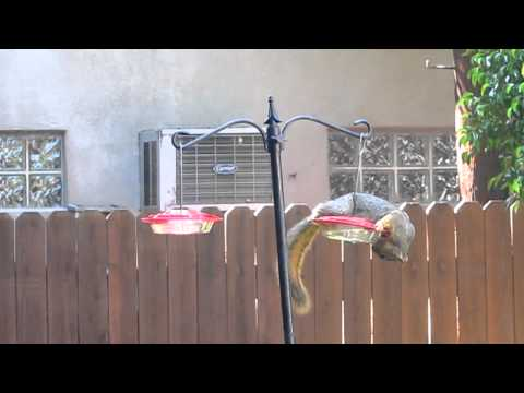 Squirrel eating nectar from hummingbird feeder