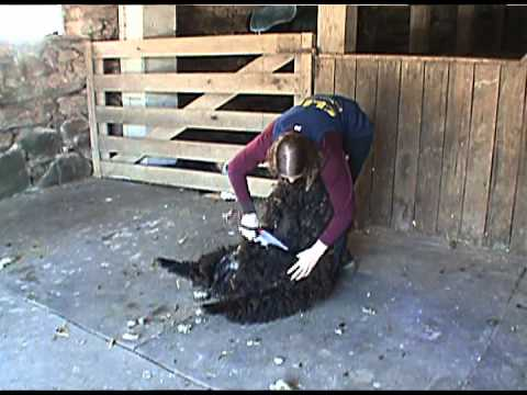 Sheep Shearing with hand clippers