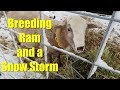 Getting Our Breeding Ram and a Snow Storm