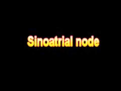 What Is The Definition Of Sinoatrial node Medical School Terminology Dictionary