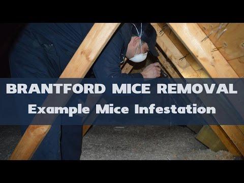 Example Mice Infestation in Attic - Brantford Mice Removal
