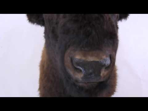 Buffalo Half-Shoulder Head Mount
