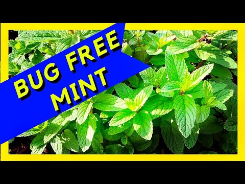 Bugs Eating Your Mint - Tips and Tricks