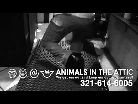 How to Remove Rat & Rodent Infestation in Restaurants, 321-614-6005 Animals in the Attic Brevard