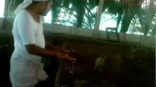Kozhi valarthal tips music jinni for Terrace krishi