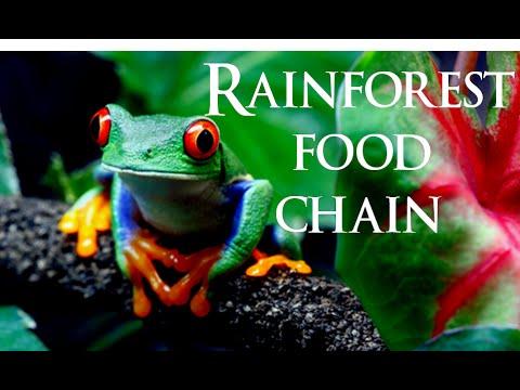 Rairforest food chain | rainforest ecosystem