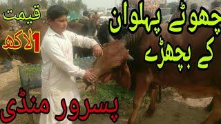 sahiwal bull for sale in pakistan Videos - 9tube tv