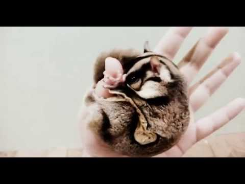 Super duper tame and bonded Sugar Glider