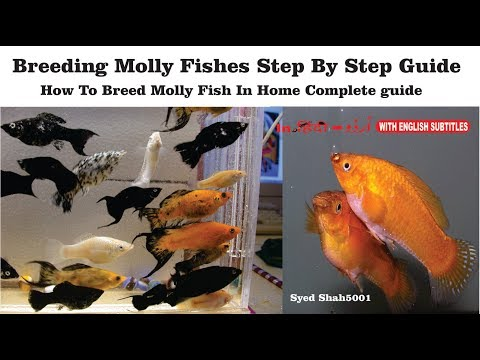 How to breed molly fish in home Aquarium successfully Hindi Urdu with English subtitles