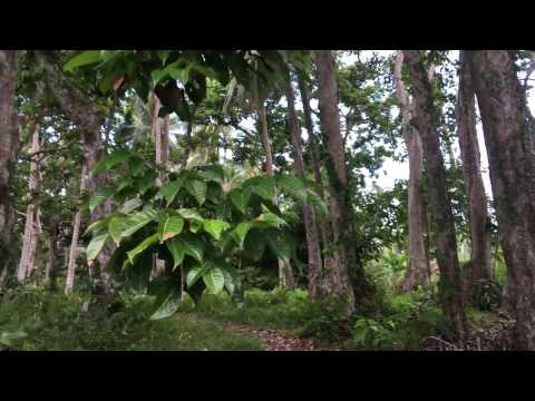 Pili Nut Forest