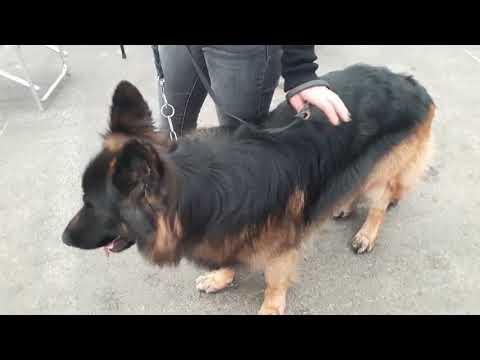 Part 5 - Dog Show Italy/italia - Bhola Shola