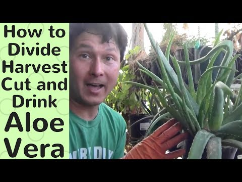 How to Divide, Harvest, Cut and Drink Aloe Vera