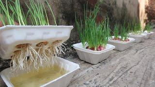 Brilliant idea | How to grow Onions \u0026 Garlic in Styrofoam Box for beginners