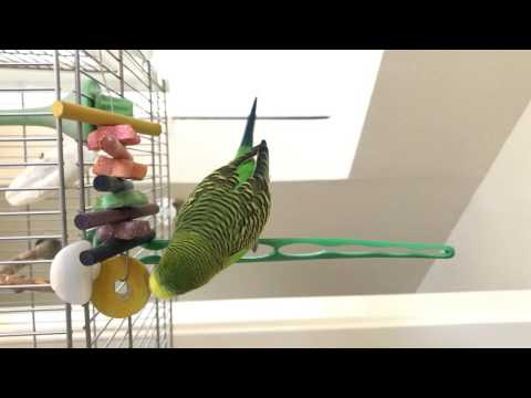 Kiwi the Talking Budgie playing with (and talking to) his yellow disk toy