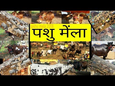 Pashu mela / सबसे सस्ता पशुओं का मेंला/ big cow buffalo calf sahiwal red sindhi geer cow etc..