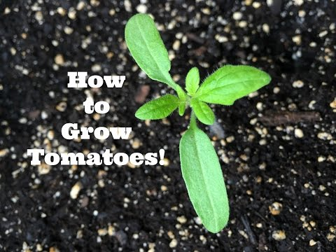 How to Grow Tomatoes from Seed!
