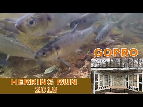 Herring Run 2018 ~ Middleboro Massachusetts