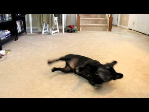 Training georgie the french bulldog tricks, paw, roll over, stay