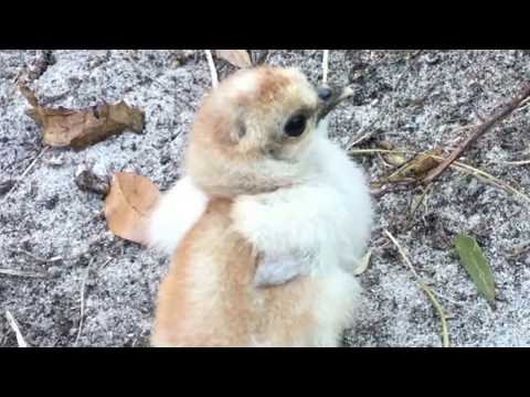 SEXING SILKIE CHICKS ~ rough draft video