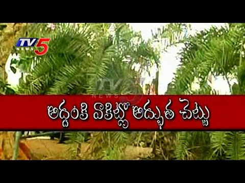 Exclusive Visuals Of  Wonder Tree  | Date Tree Fall Down In Morning..Stand Up At Evening  | TV5 News