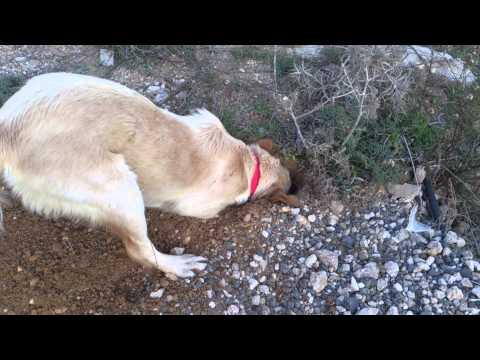 Dog smells something