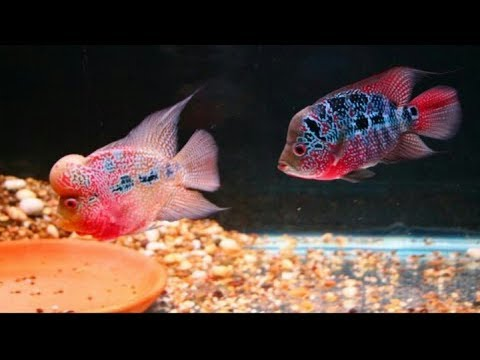 How to breed Flowerhorn in Hindi