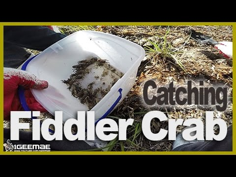 [Own Bait #01] Catching Fiddler Crab