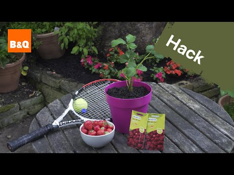 Quick tips for your Strawberry Plants