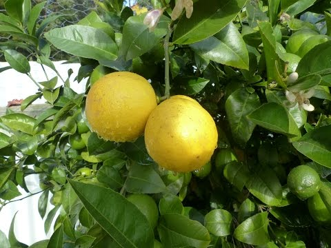 How to SUCCESSFULLY grow Citrus in a COOL climate.