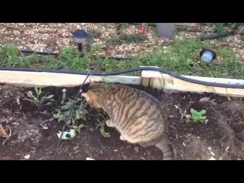 Feral cat in my catnip plant