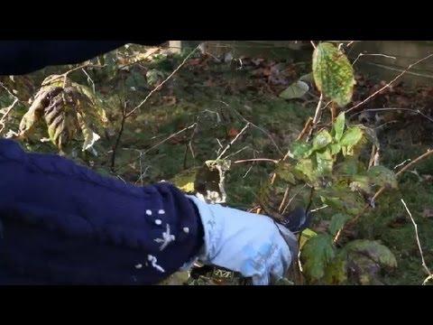 How to Prune Raspberries : Berry Gardening, Fertilizers & Vegetables