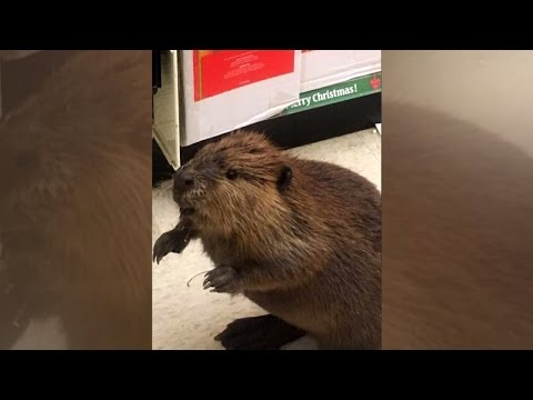 Leave It To This Beaver To Get Caught Holiday Shopping Inside Store
