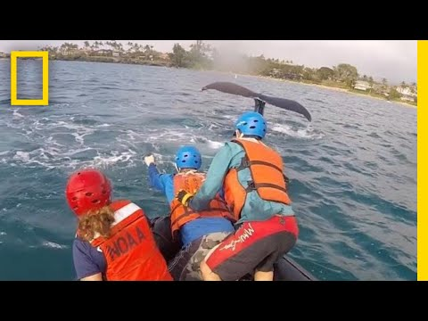 Rescuers Free Humpback Whales Caught in Fishing Lines in Hawaii | National Geographic