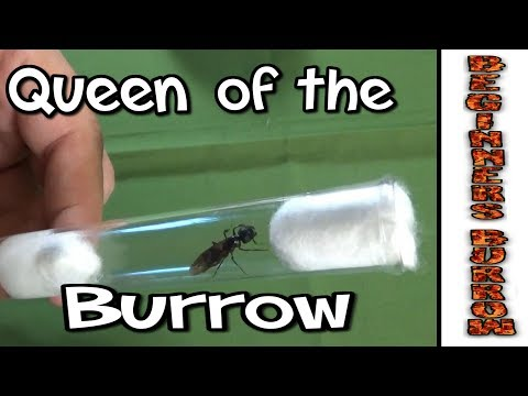 Queen Ant of the Burrow - Beginners Burrow